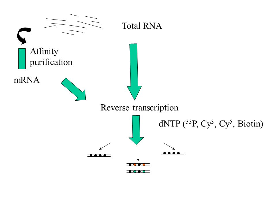 Total RNA Affinity purification mRNA Reverse transcription dNTP (33P, Cy3, Cy5, Biotin)