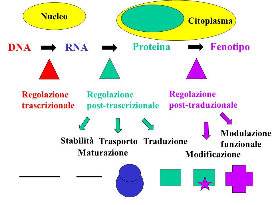 Proteina DNA RNA Fenotipo Citoplasma Nucleo Regolazione trascrizionale