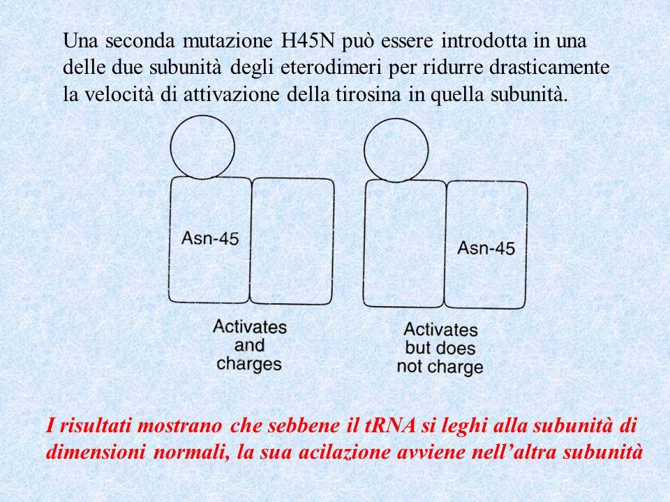 Una seconda mutazione H45N può essere introdotta in una