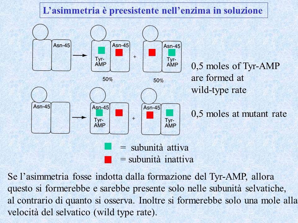 L'asimmetria è preesistente nell'enzima in soluzione