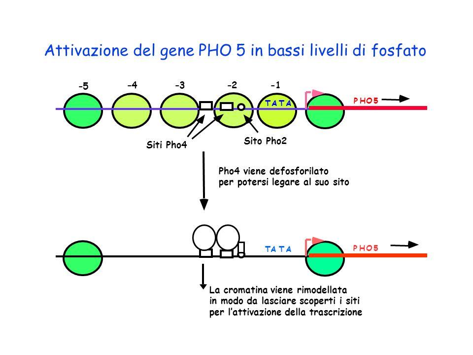 Attivazione del gene PHO 5 in bassi livelli di fosfato
