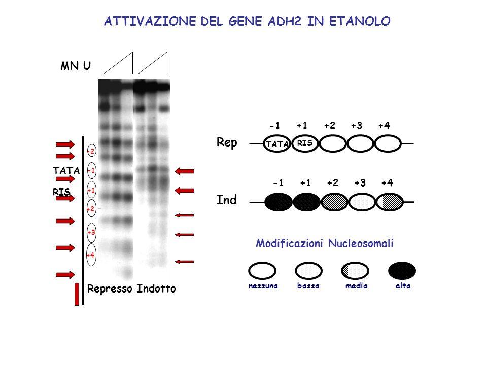 ATTIVAZIONE DEL GENE ADH2 IN ETANOLO