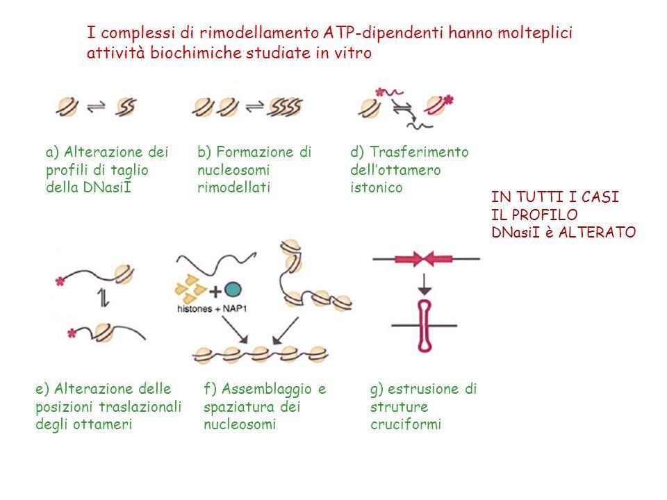 I complessi di rimodellamento ATP-dipendenti hanno molteplici