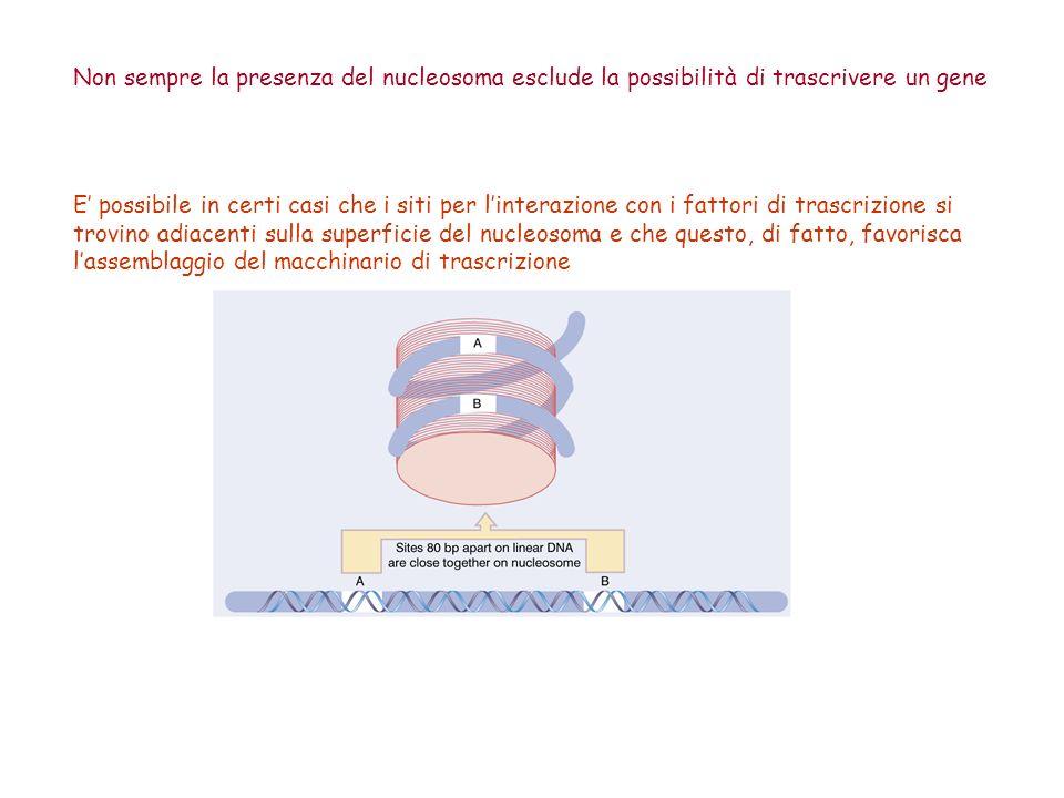 Non sempre la presenza del nucleosoma esclude la possibilità di trascrivere un gene