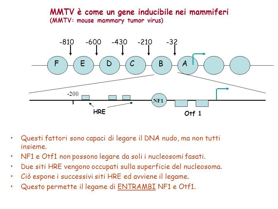 MMTV è come un gene inducibile nei mammiferi