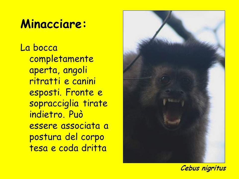 Minacciare: Cebus nigritus.