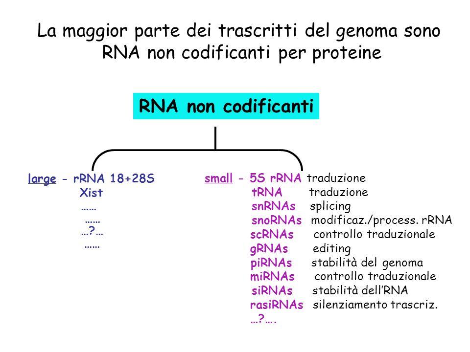 La maggior parte dei trascritti del genoma sono RNA non codificanti per proteine