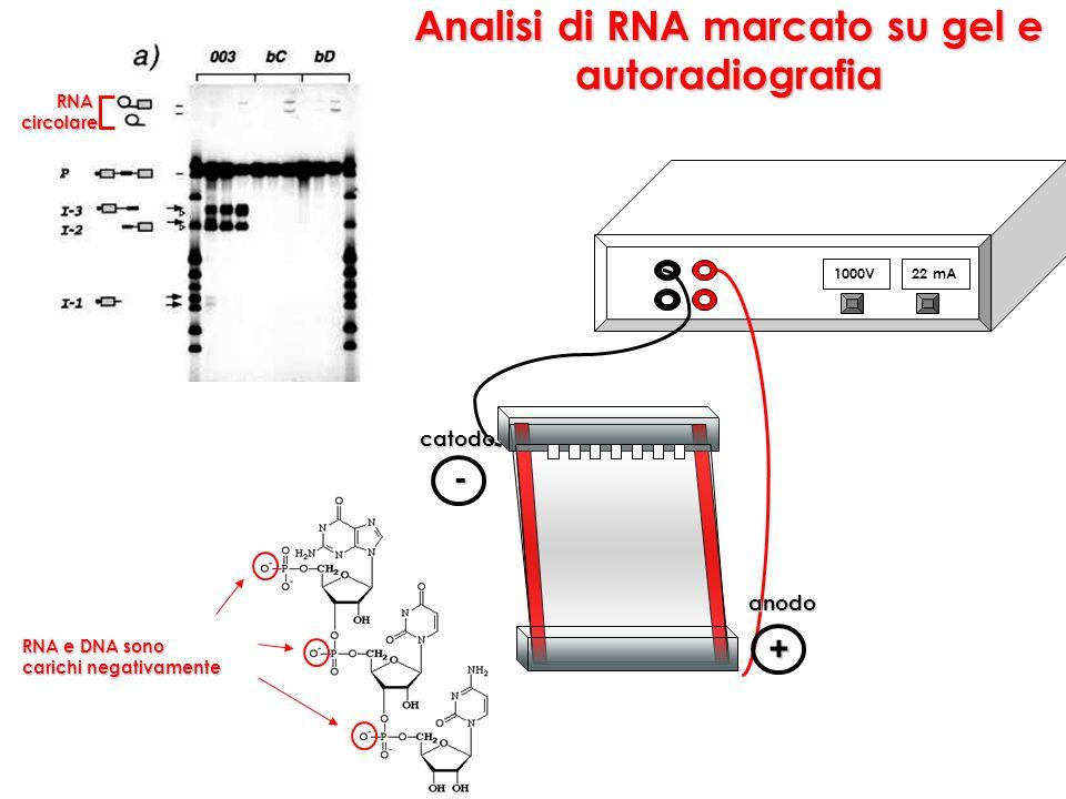 Analisi di RNA marcato su gel e autoradiografia