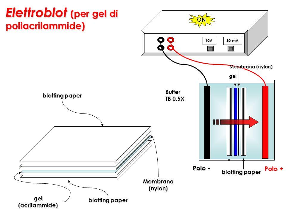 Elettroblot (per gel di poliacrilammide)
