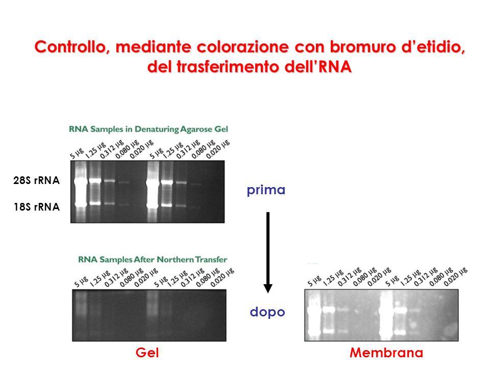 Controllo, mediante colorazione con bromuro d'etidio, del trasferimento dell'RNA