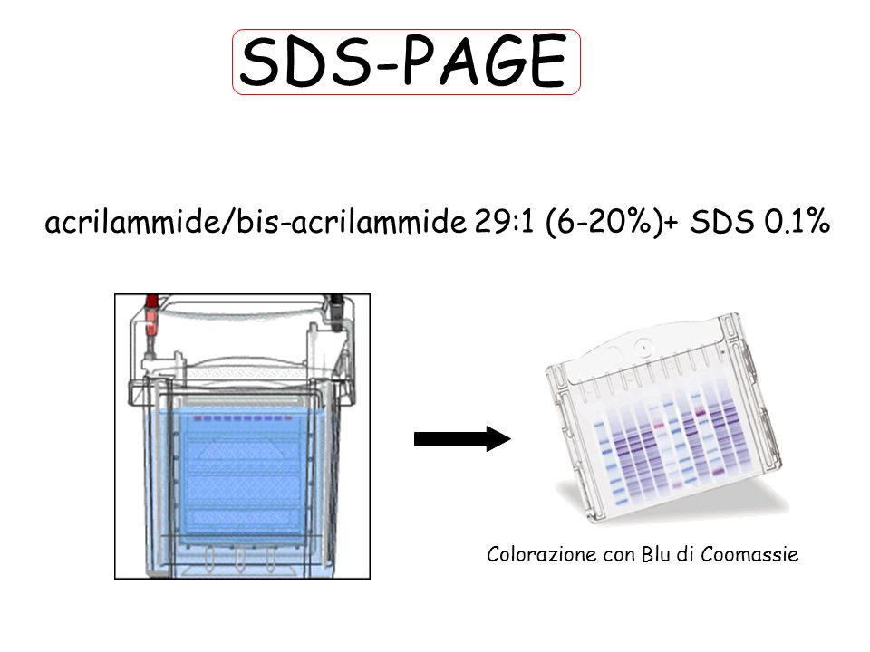 SDS-PAGE acrilammide/bis-acrilammide 29:1 (6-20%)+ SDS 0.1%