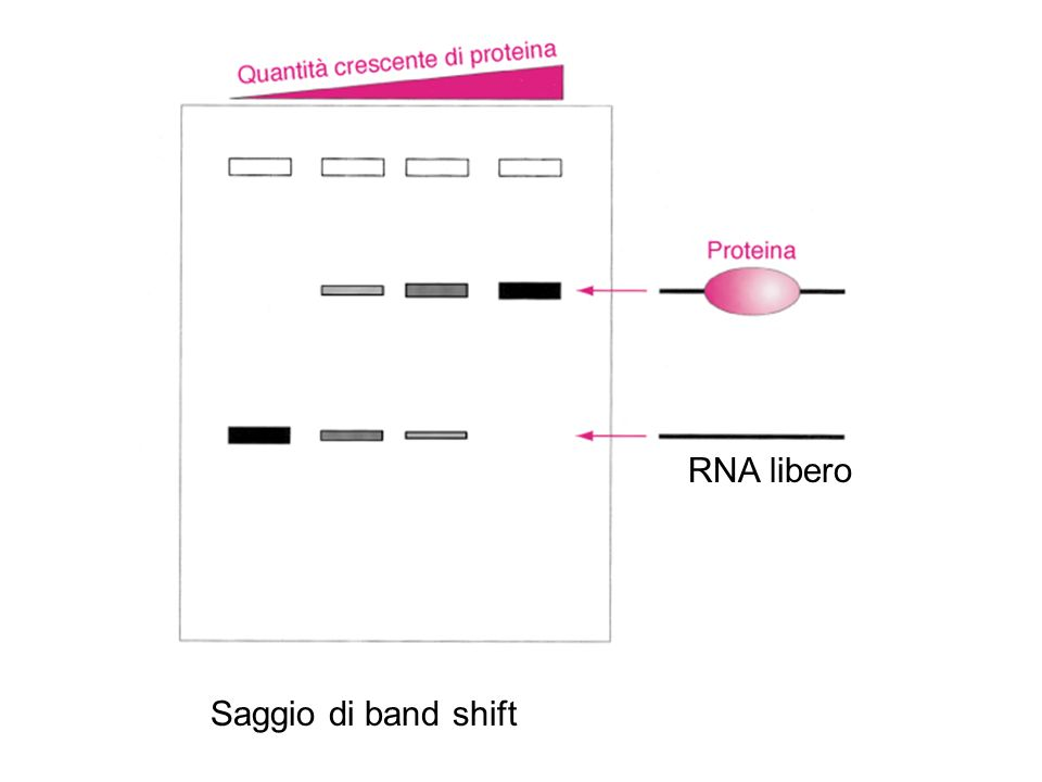 RNA libero Saggio di band shift 29