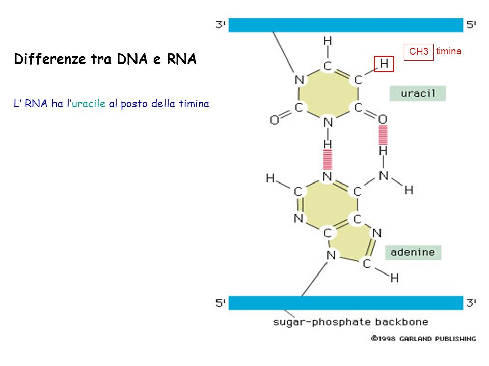 Differenze tra DNA e RNA