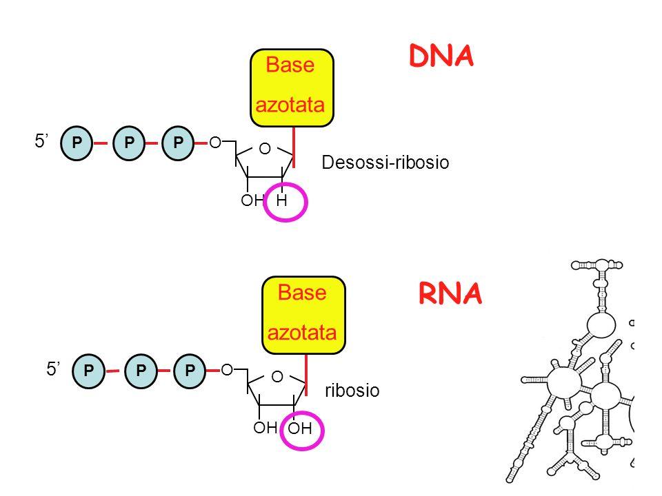 DNA RNA Base azotata Base azotata 5' Desossi-ribosio 5' ribosio P O OH