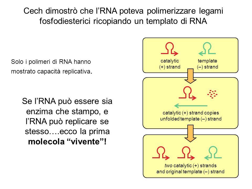 Cech dimostrò che l'RNA poteva polimerizzare legami