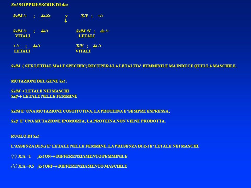Sxl SOPPRESSORE DI da: SxlM /+ ; da/da x X/Y ; +/+ 