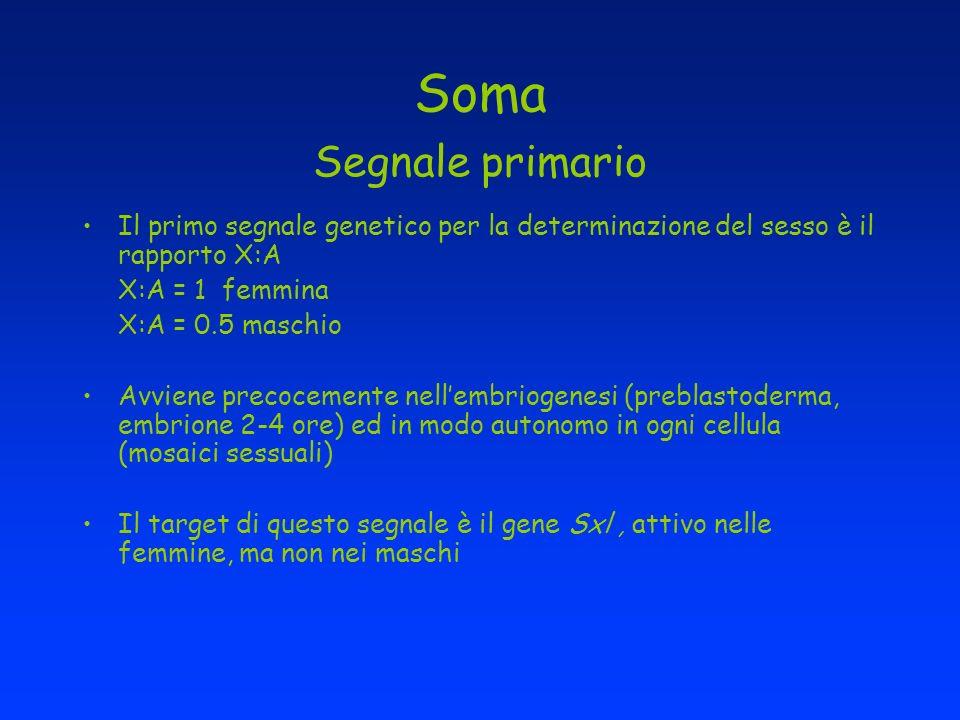 Soma Segnale primario Il primo segnale genetico per la determinazione del sesso è il rapporto X:A. X:A = 1 femmina.