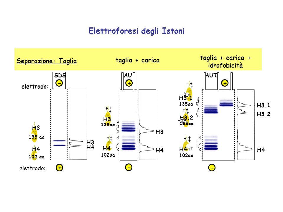 Elettroforesi degli Istoni