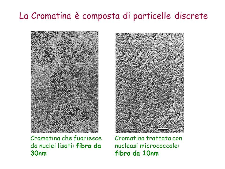 La Cromatina è composta di particelle discrete