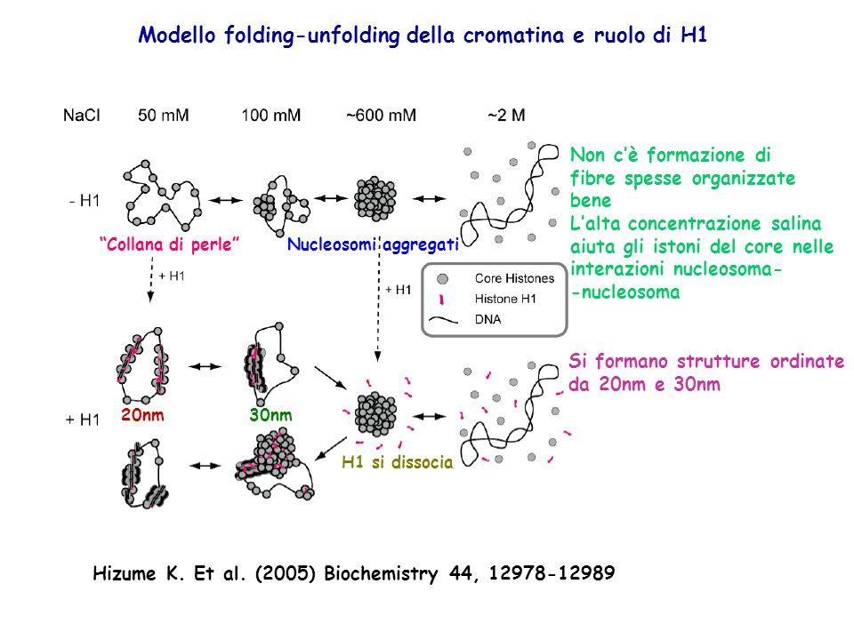 Modello folding-unfolding della cromatina e ruolo di H1