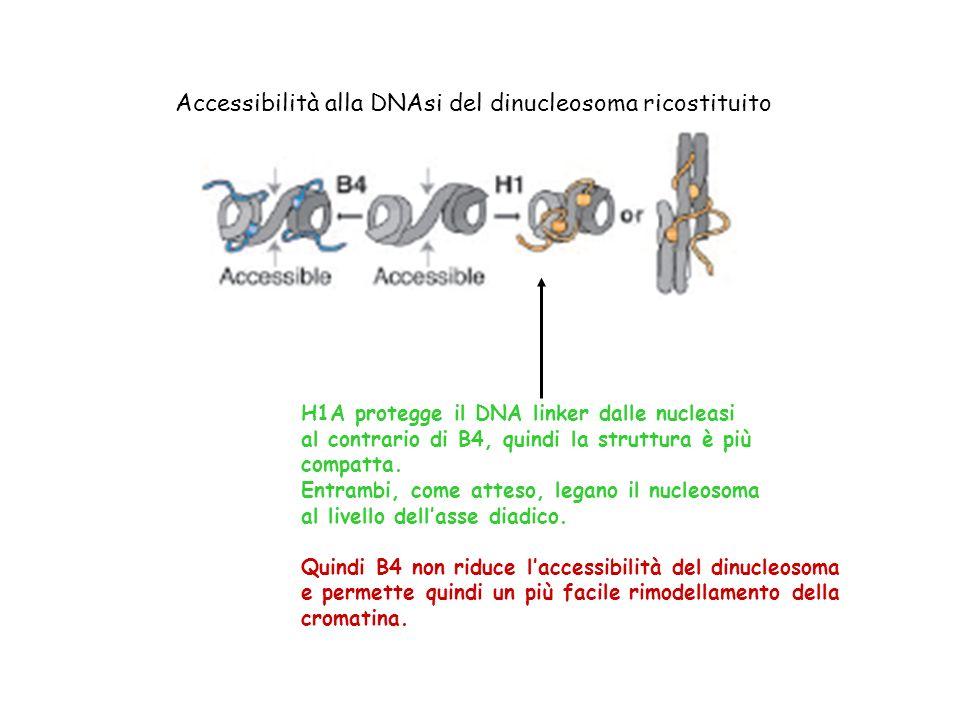 Accessibilità alla DNAsi del dinucleosoma ricostituito
