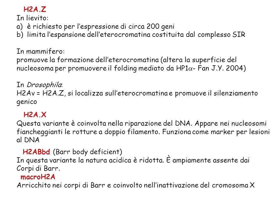 H2A.Z In lievito: è richiesto per l'espressione di circa 200 geni. limita l'espansione dell'eterocromatina costituita dal complesso SIR.