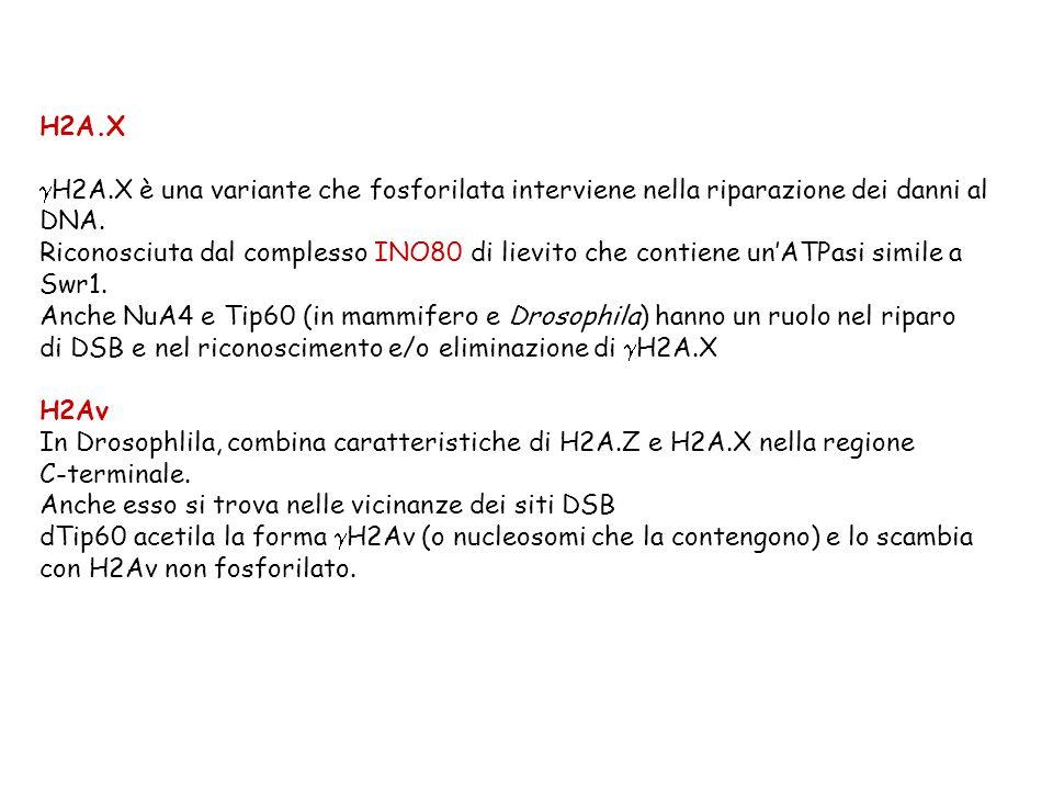 H2A.X gH2A.X è una variante che fosforilata interviene nella riparazione dei danni al. DNA.