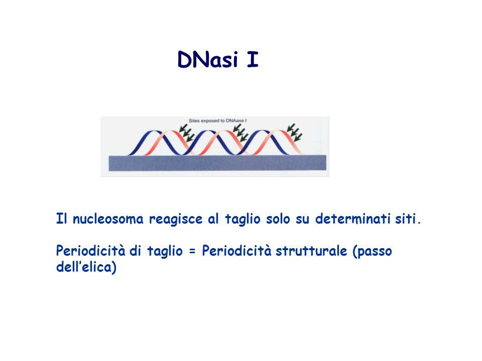 DNasi I Il nucleosoma reagisce al taglio solo su determinati siti.