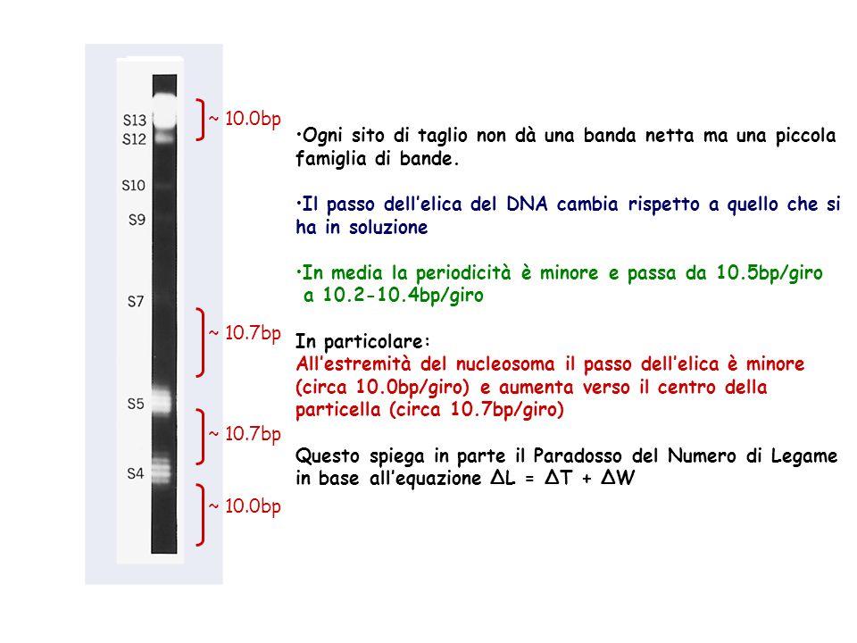 ~ 10.0bp Ogni sito di taglio non dà una banda netta ma una piccola. famiglia di bande. Il passo dell'elica del DNA cambia rispetto a quello che si.