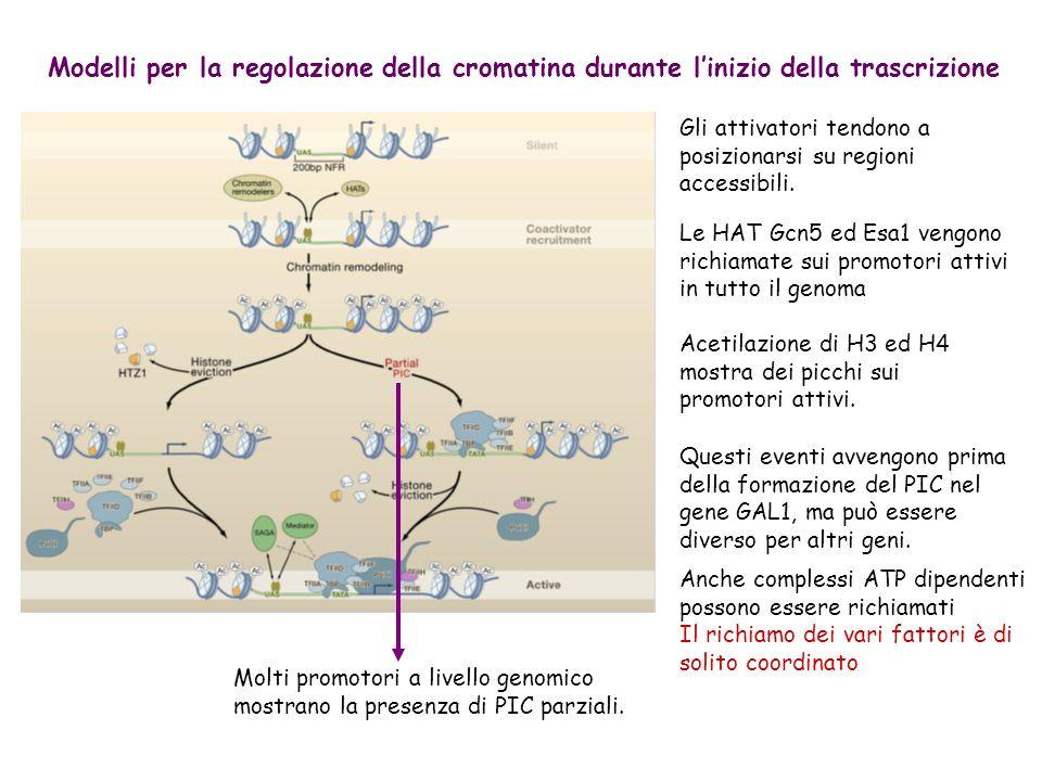 Modelli per la regolazione della cromatina durante l'inizio della trascrizione