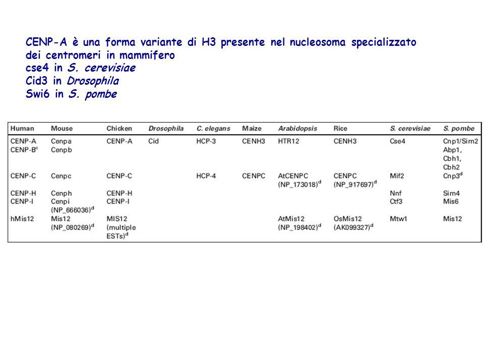 CENP-A è una forma variante di H3 presente nel nucleosoma specializzato