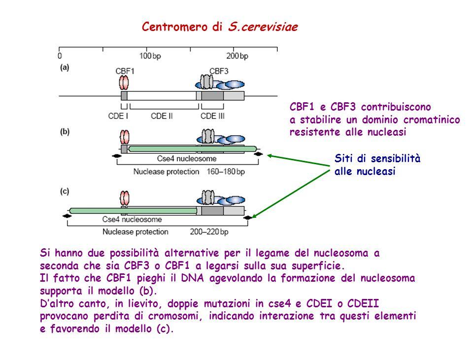 Centromero di S.cerevisiae