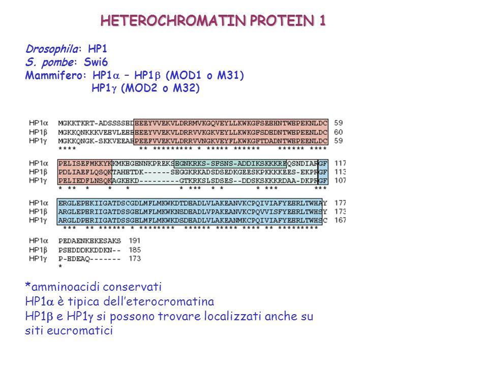 HETEROCHROMATIN PROTEIN 1