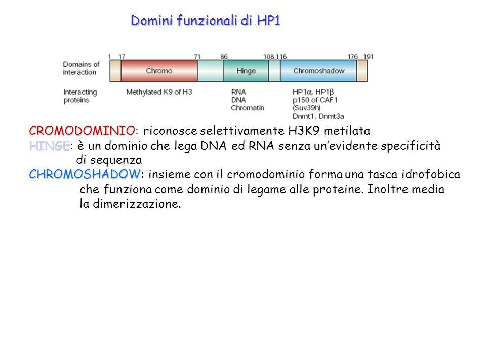 Domini funzionali di HP1