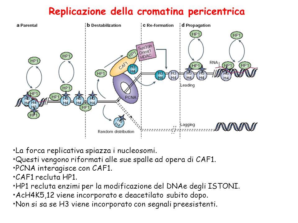 Replicazione della cromatina pericentrica