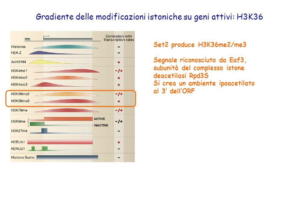 Gradiente delle modificazioni istoniche su geni attivi: H3K36