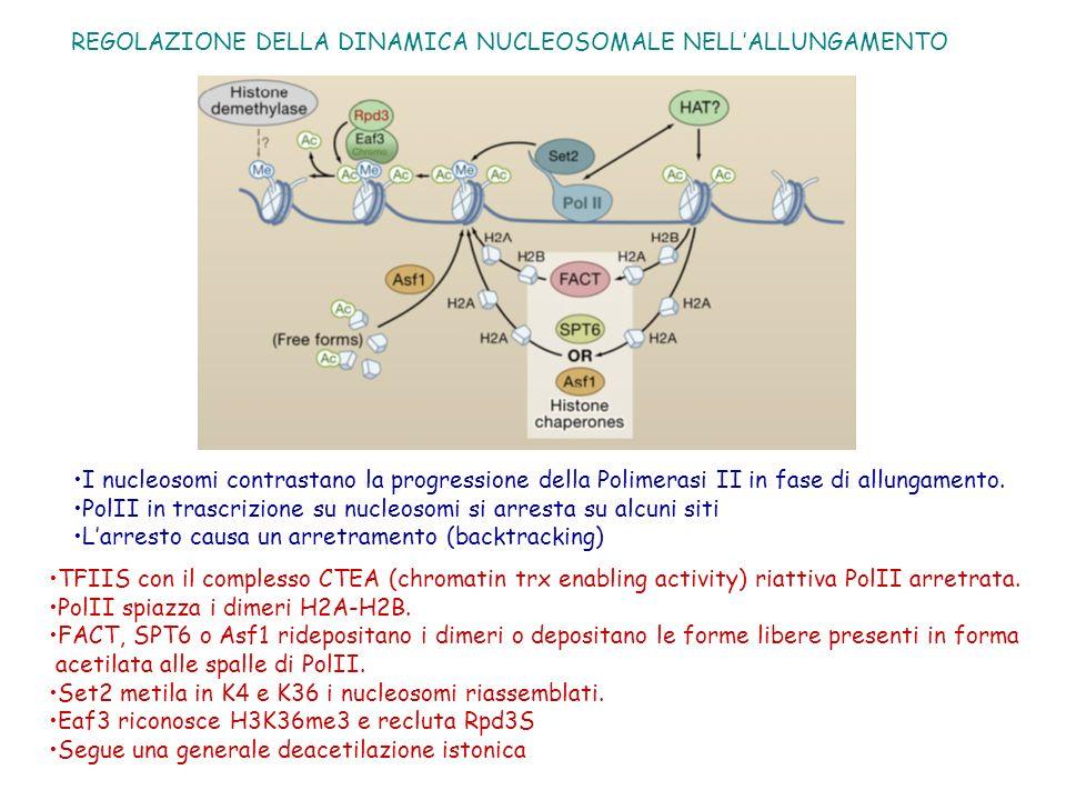 REGOLAZIONE DELLA DINAMICA NUCLEOSOMALE NELL'ALLUNGAMENTO
