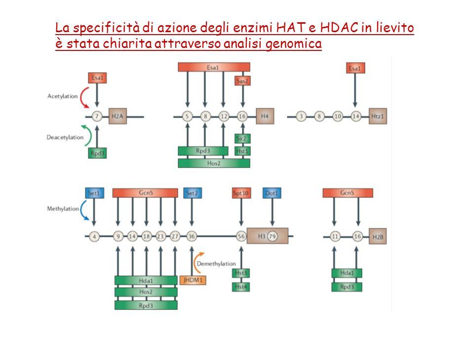 La specificità di azione degli enzimi HAT e HDAC in lievito
