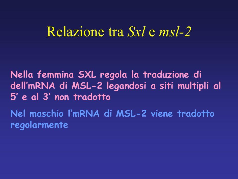 Relazione tra Sxl e msl-2