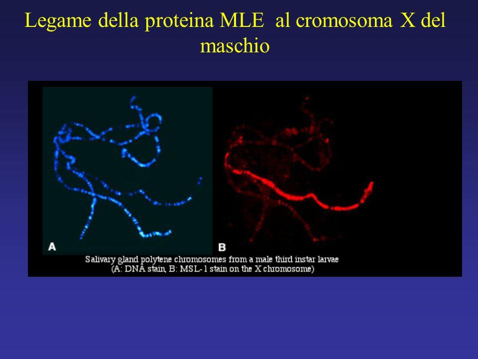 Legame della proteina MLE al cromosoma X del maschio