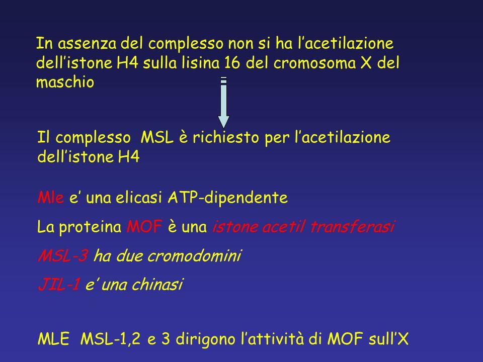 In assenza del complesso non si ha l'acetilazione dell'istone H4 sulla lisina 16 del cromosoma X del maschio