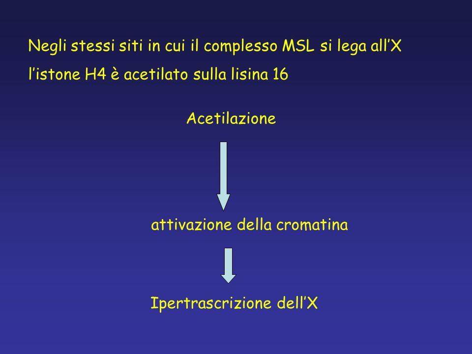 Negli stessi siti in cui il complesso MSL si lega all'X