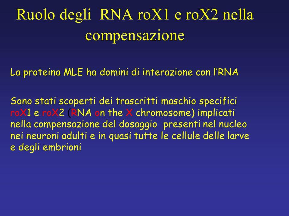 Ruolo degli RNA roX1 e roX2 nella compensazione