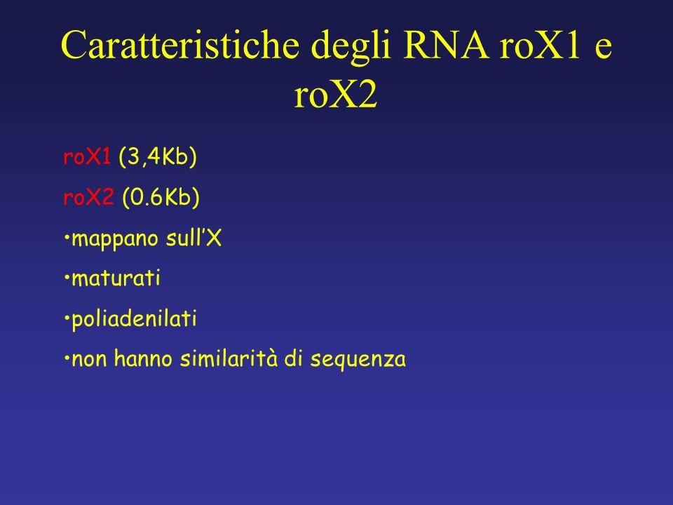 Caratteristiche degli RNA roX1 e roX2