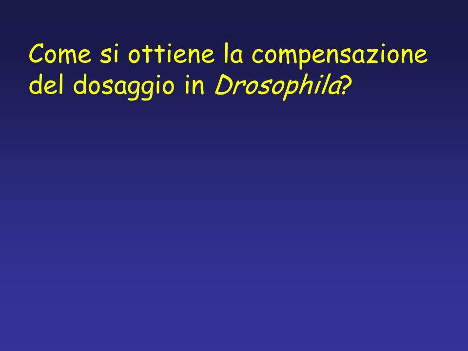 Come si ottiene la compensazione del dosaggio in Drosophila