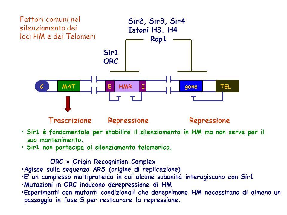 Fattori comuni nel silenziamento dei loci HM e dei Telomeri
