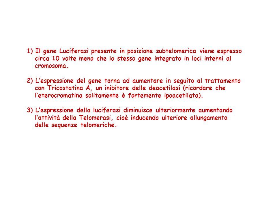 1) Il gene Luciferasi presente in posizione subtelomerica viene espresso