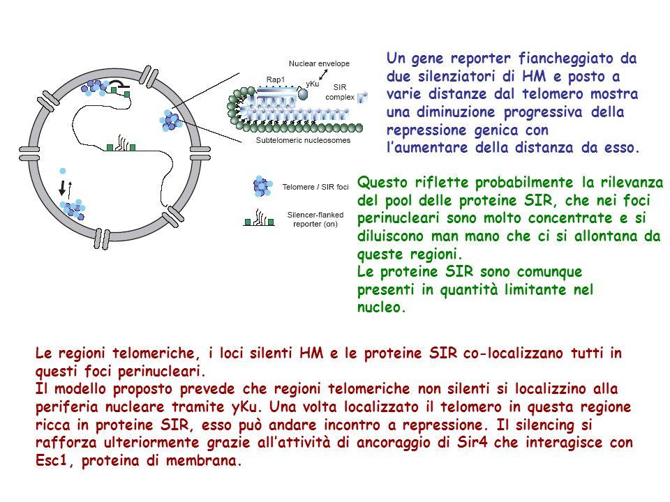 Un gene reporter fiancheggiato da due silenziatori di HM e posto a varie distanze dal telomero mostra una diminuzione progressiva della repressione genica con