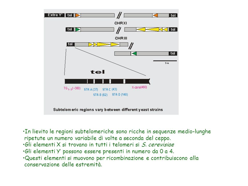 In lievito le regioni subtelomeriche sono ricche in sequenze medio-lunghe