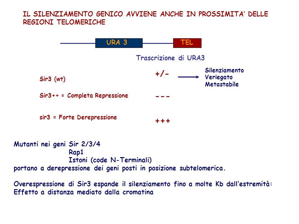+/- --- +++ IL SILENZIAMENTO GENICO AVVIENE ANCHE IN PROSSIMITA' DELLE